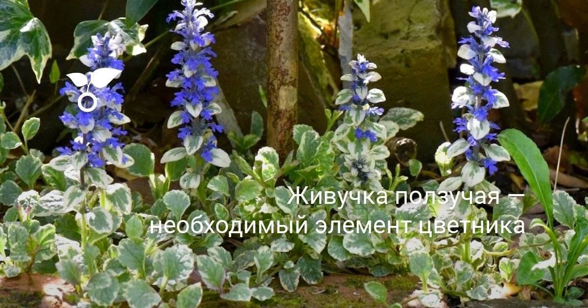 Живучка ползучая — яркое и простое в уходе многолетнее растение. посадка и уход за живучкой.
