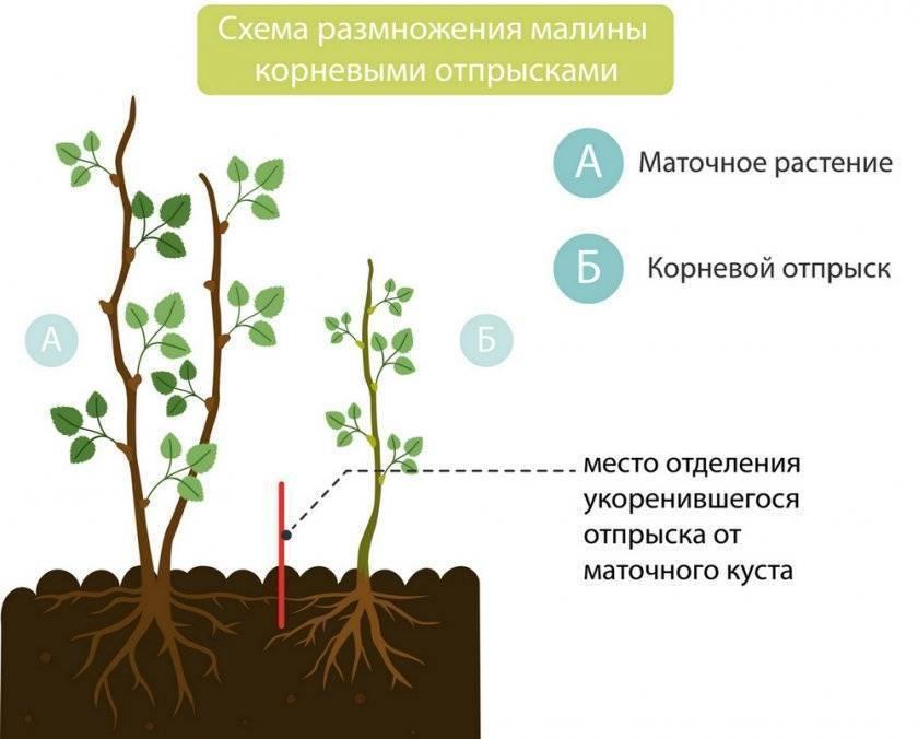 Размножение малины черенками и отпрысками