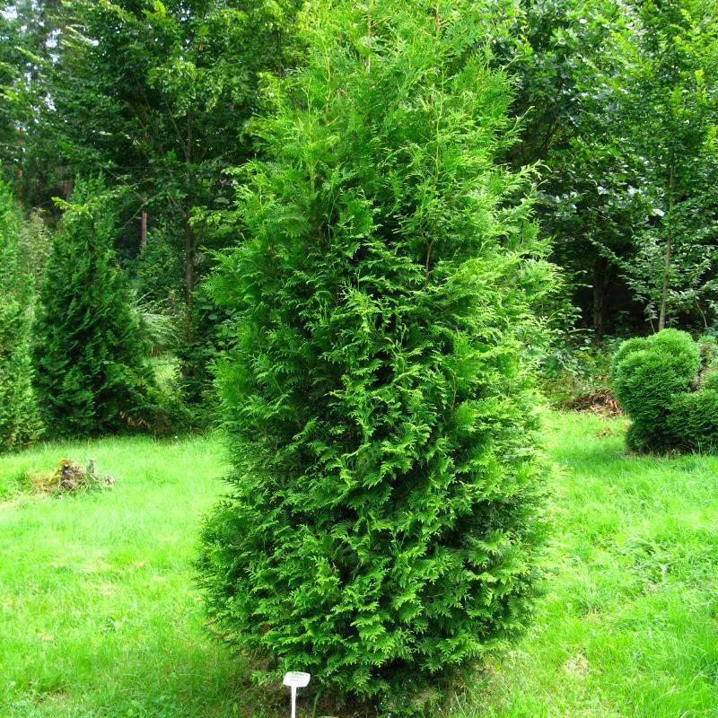 Зимостойкость декоративных растений. зоны холодоустойчивости | сажаем сад