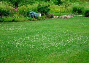 Декоративный клевер: и в цветник, и на газон