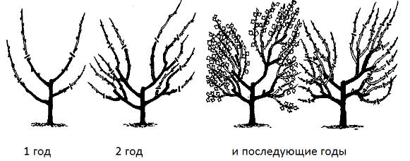 Весенняя обрезка крыжовника: формирование и омоложение куста