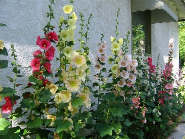 Mальва мускусная и шток роза: особенности ухода и 3 способа размножения