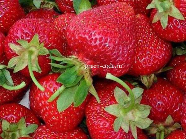 Секреты разведения клубники: как создать «ягодный конвейер»