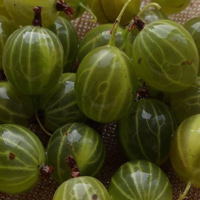 Выращивание крыжовника сорта уральский изумруд