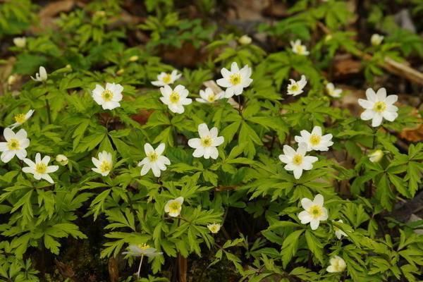 Анемона - 120 фото применения растения в дизайне и выращивание цветка в саду