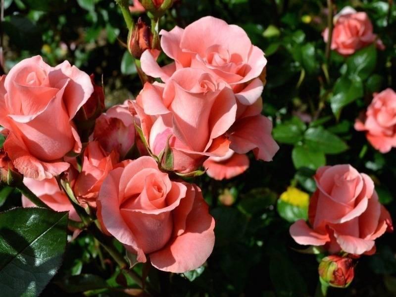 Об опадании листьев у розы садовой: причина и что делать, способы лечения