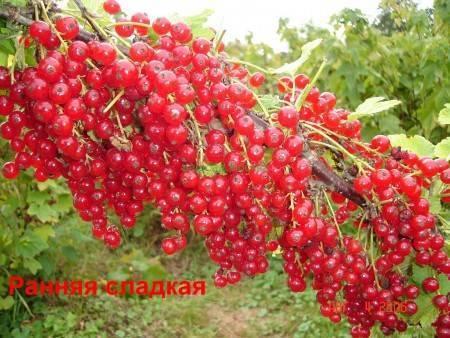 Сорта красной смородины для подмосковья: крупноплодные