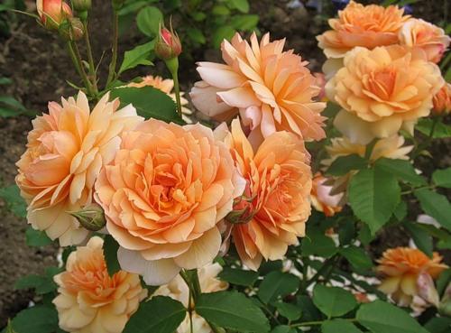 Роза братья гримм (gebruder grimm) — что это за сорт, описание