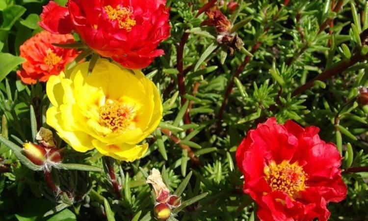 Портулак — яркий неприхотливый цветочный ковер