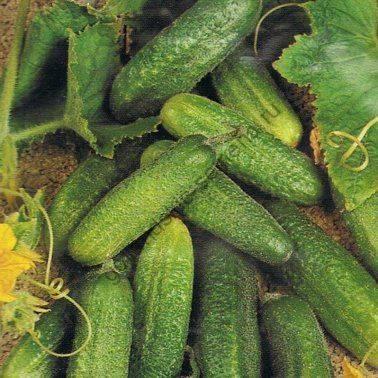 Огурцы корнишоны для открытого грунта