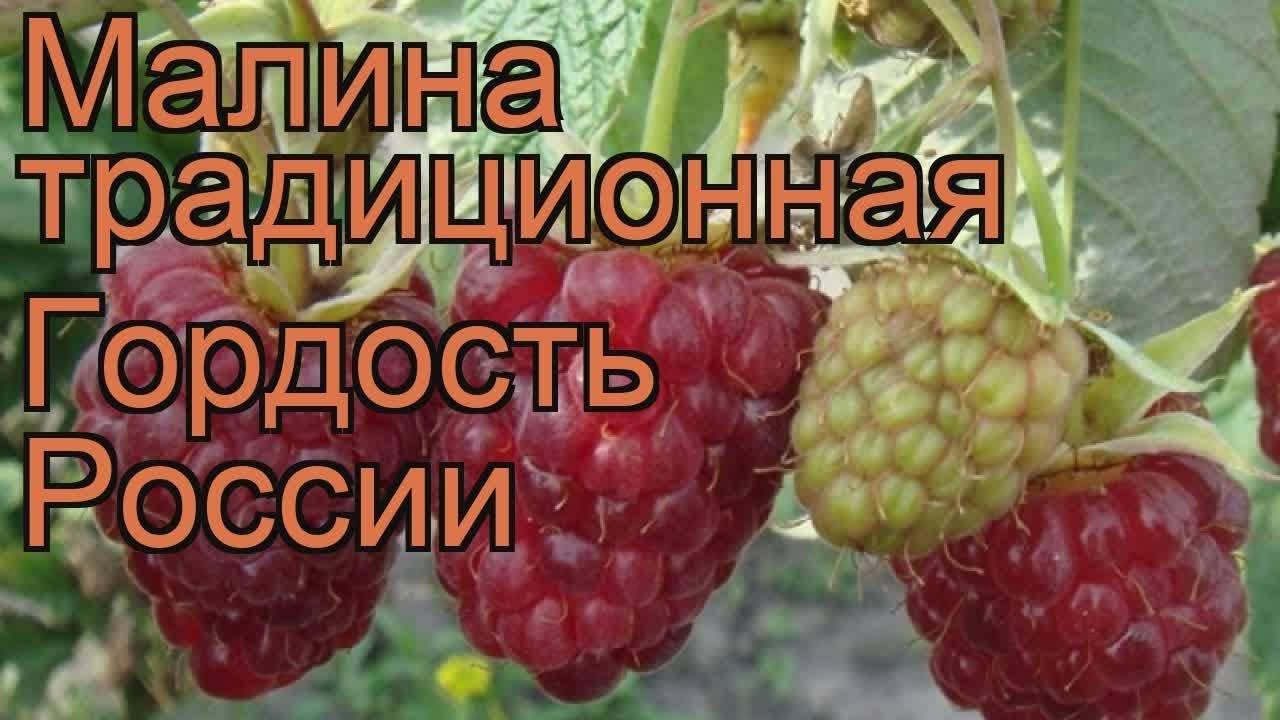 Описание сорта малины «гордость россии»: фото, видео + отзывы