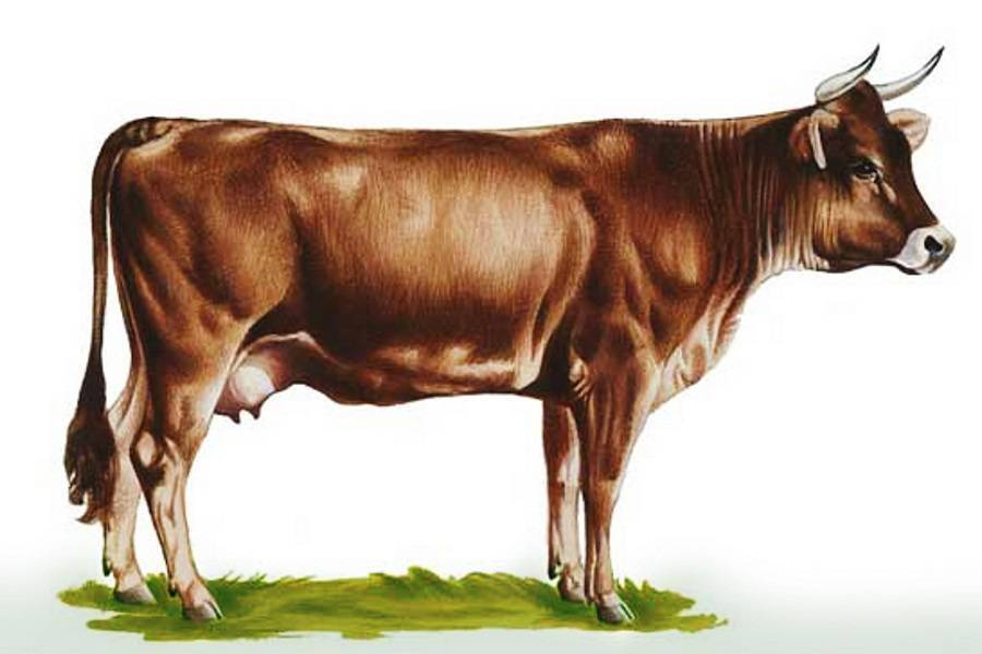 О швицкой породе коров и быков: описание и характеристики, содержание, уход