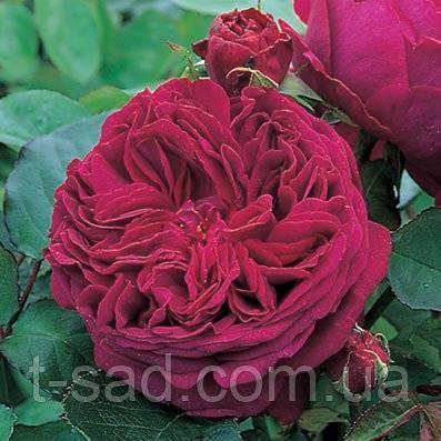 Роза фальстаф: особенности сорта