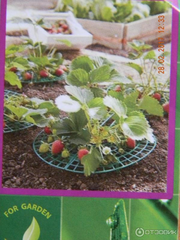 Как сохранить ягоды клубники на грядке чистыми