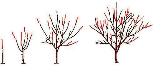 Когда и как правильно обрезать абрикос: весной, осенью в летний период (схема)