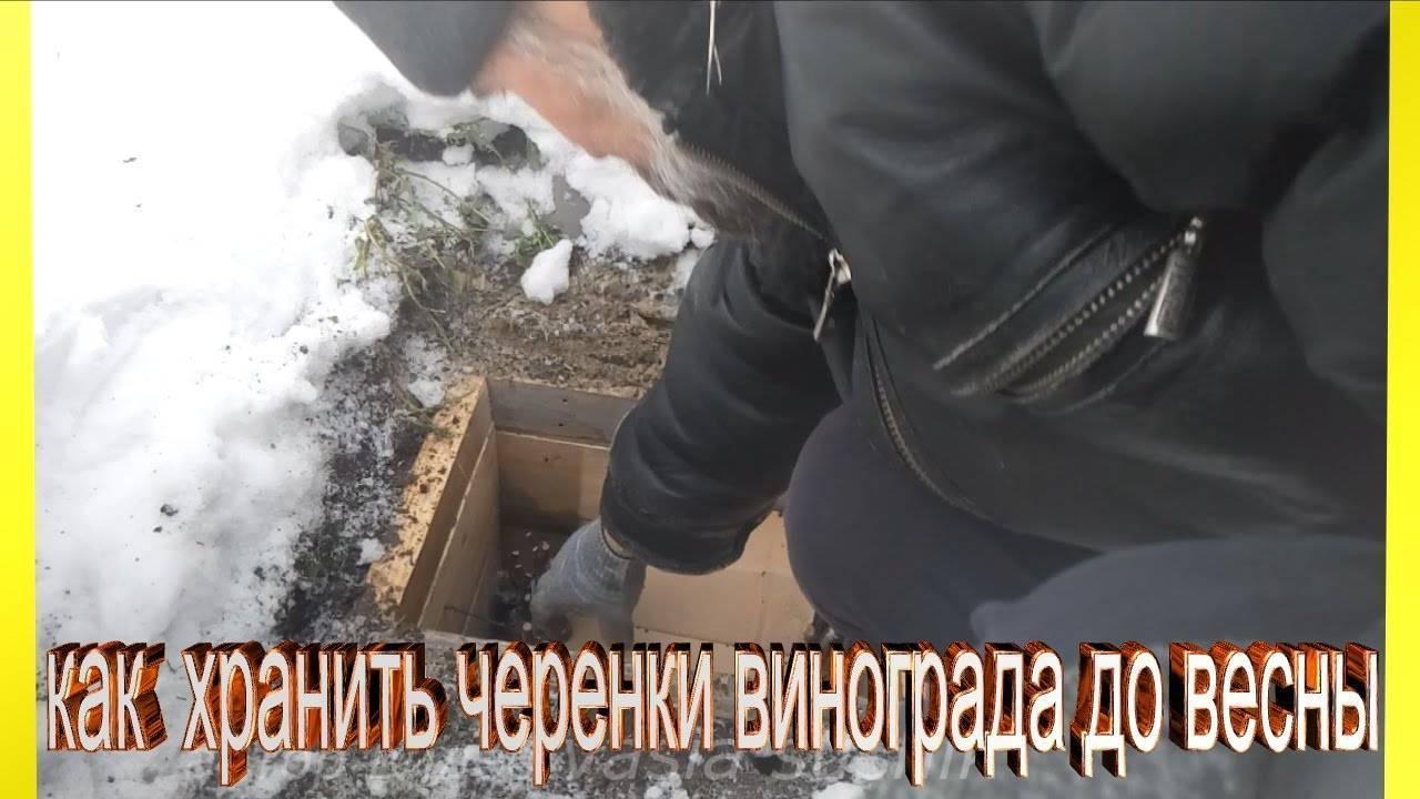 Саженцы винограда из черенков: заготовка, хранение посадочного материала, проращивание и уход