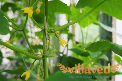 Что посадить после томатов в теплице и открытом грунте
