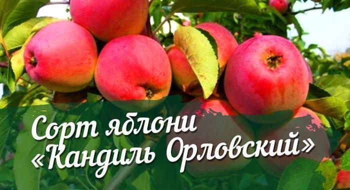 Яблоня кандиль орловский — правила выращивания