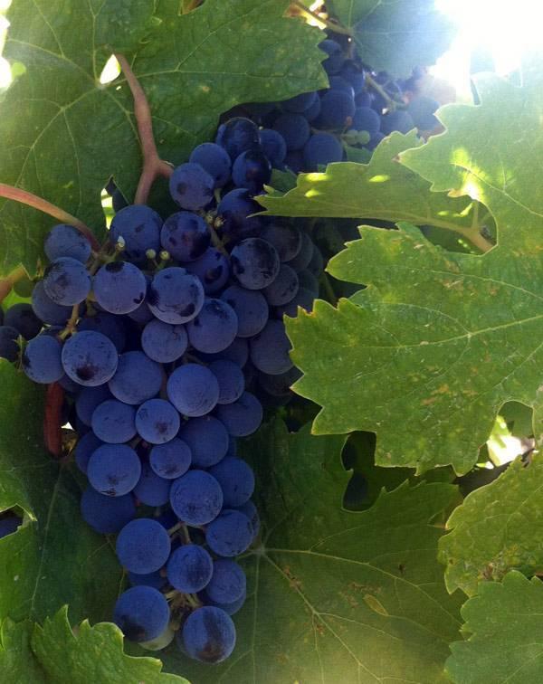 Вина из винограда мерло (merlot) – скромное обаяние классики