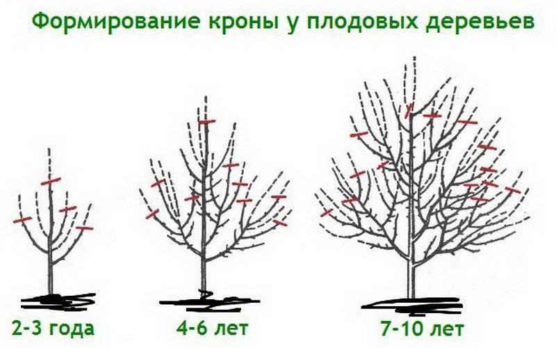 Все об обрезке плодовых деревьев: когда и как обрезать плодовые деревья весной