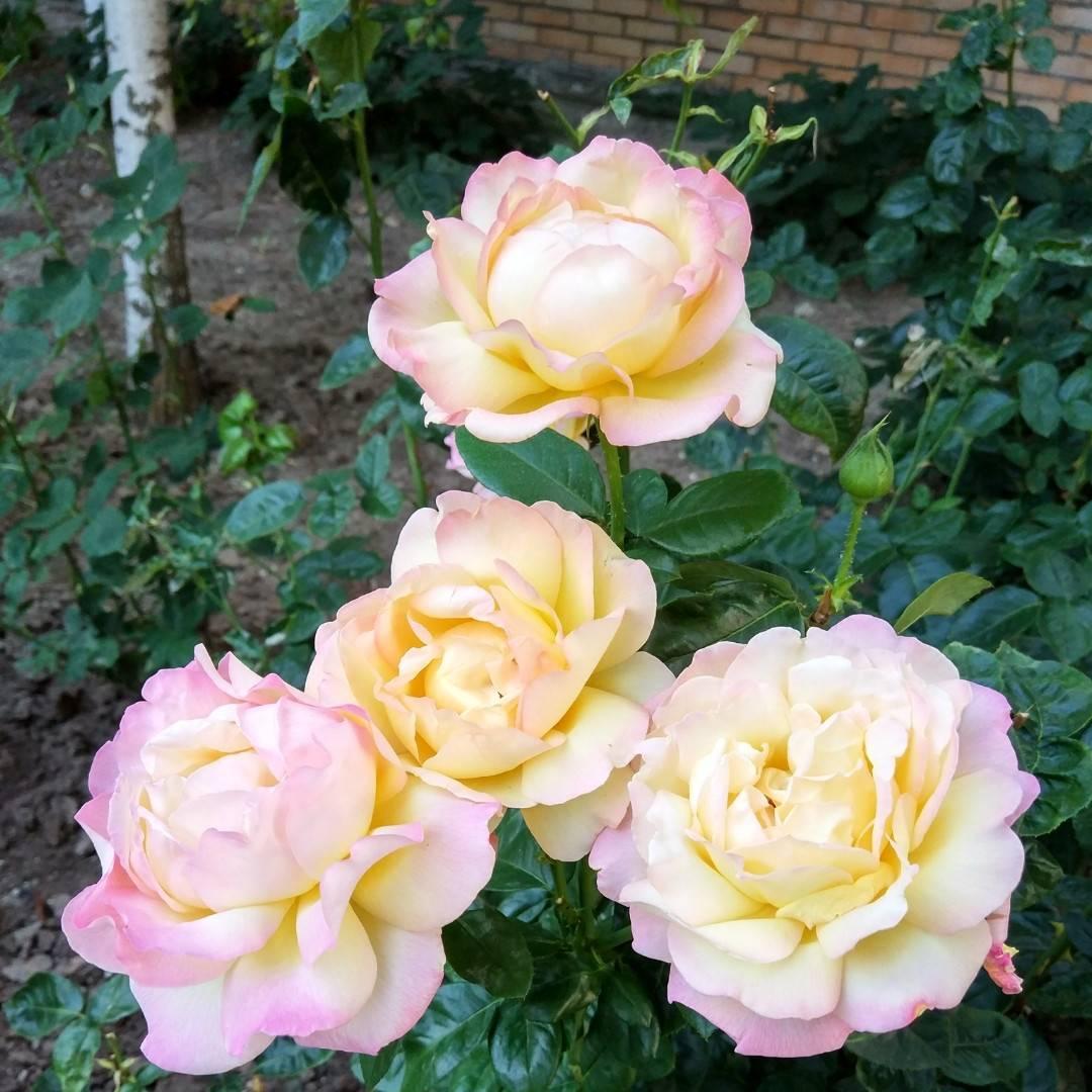Роза глория дей — описание сорта, посадка и уход