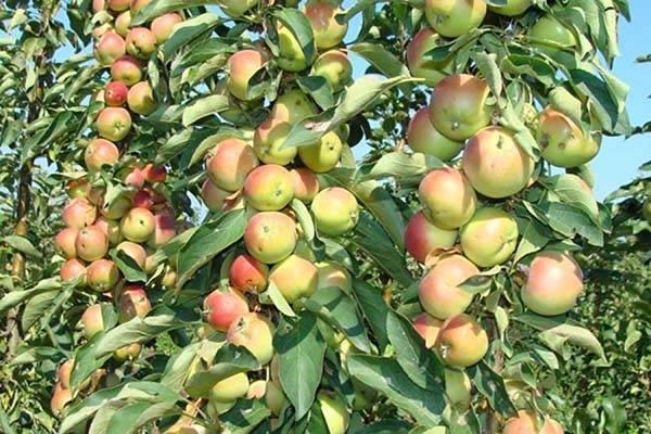 Колоновидная яблоня: правильная посадка и уход