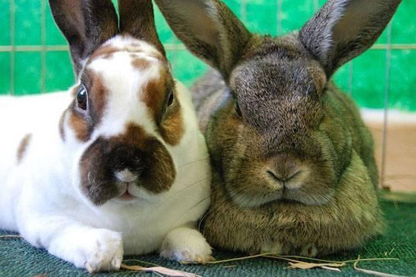 Когда можно случать крольчиху после окрола: изучаем обстоятельно