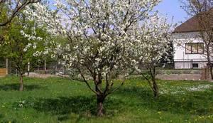 Черешня: гликемический индекс, полезные свойства ягоды