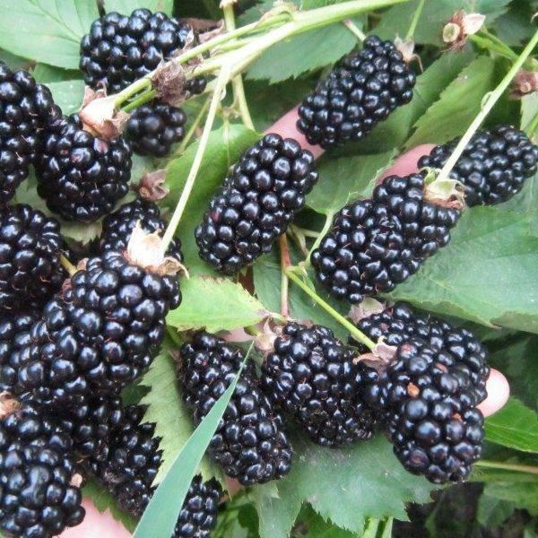 Выращивание и размножение ежевики