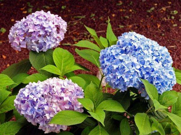 Как изменить цвет гортензии на голубой или розовый | топ огород