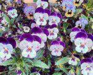 Выращивание анютиных глазок из семян (32 фото): когда лучше сажать цветы на рассаду? правильный уход в домашних условиях и сроки посадки в открытый грунт