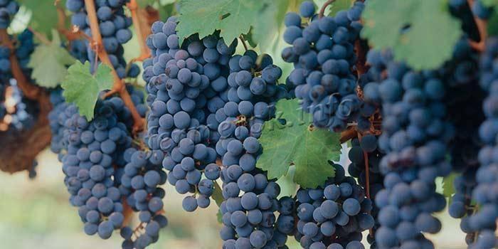 Правила сезонного ухода, обрезки и укрытия винограда