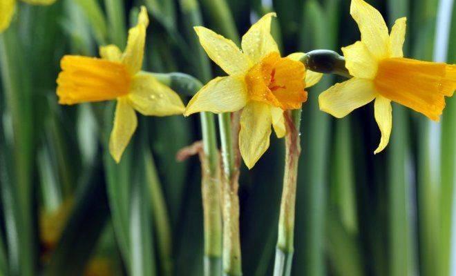 Правильная пересадка нарцисса после цветения