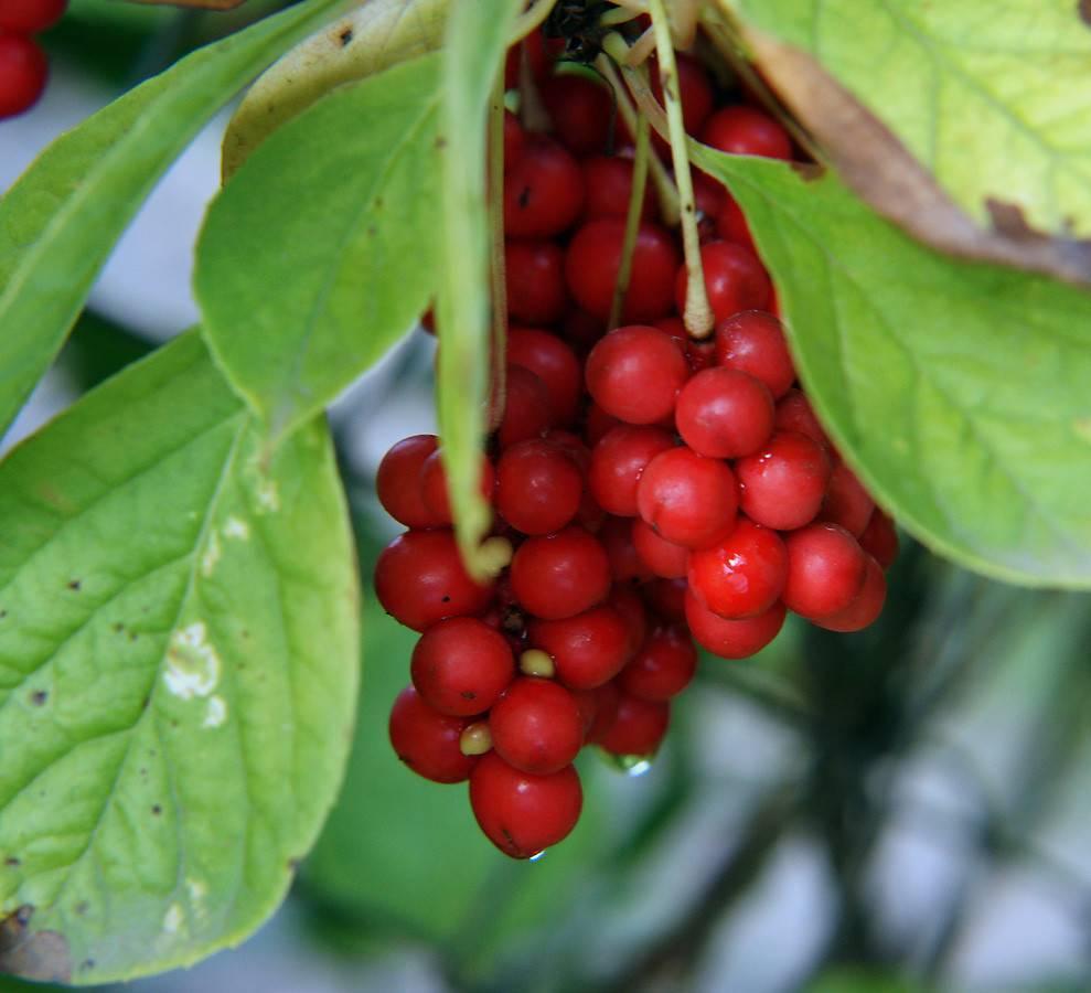Бузина: виды и сорта, уход и выращивание