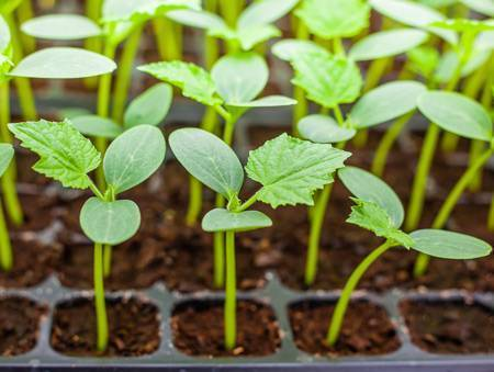 Когда нужно высаживать рассаду огурцов в открытый грунт и теплицу