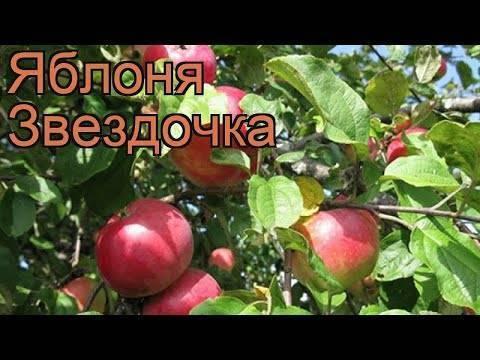 Сорт яблони «болотовское»: описание и особенности выращивания