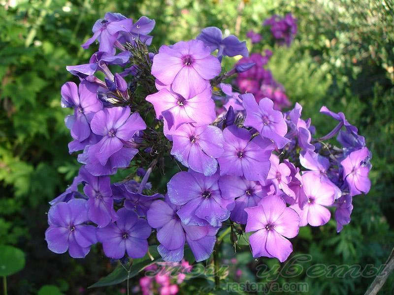 Вот и флоксы зацвели! - запись пользователя аннушка (id774337) в сообществе сад, огород в категории многолетние цветы - babyblog.ru