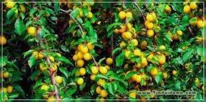 О алыче в Сибири: лучшие сорта, выращивание, посадка и дальнейший уход