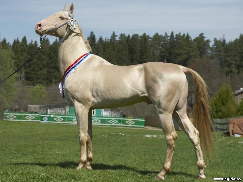 Ахалтекинская порода лошадей: описание, разведение, воспитание и уход