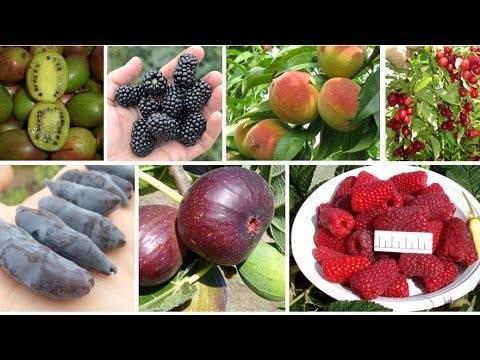 Плодовые кустарники: описание и характеристики, посадка и выращивание