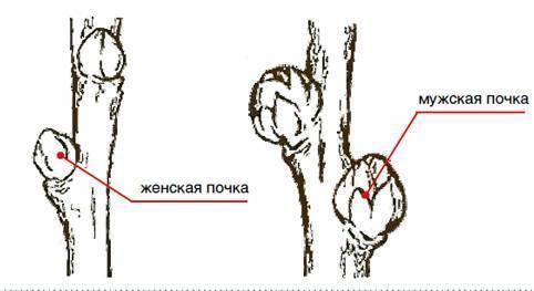 Облепиха – посадка и уход за саженцами и взрослыми растениями