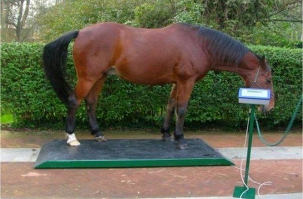 Сколько весит лошадь?