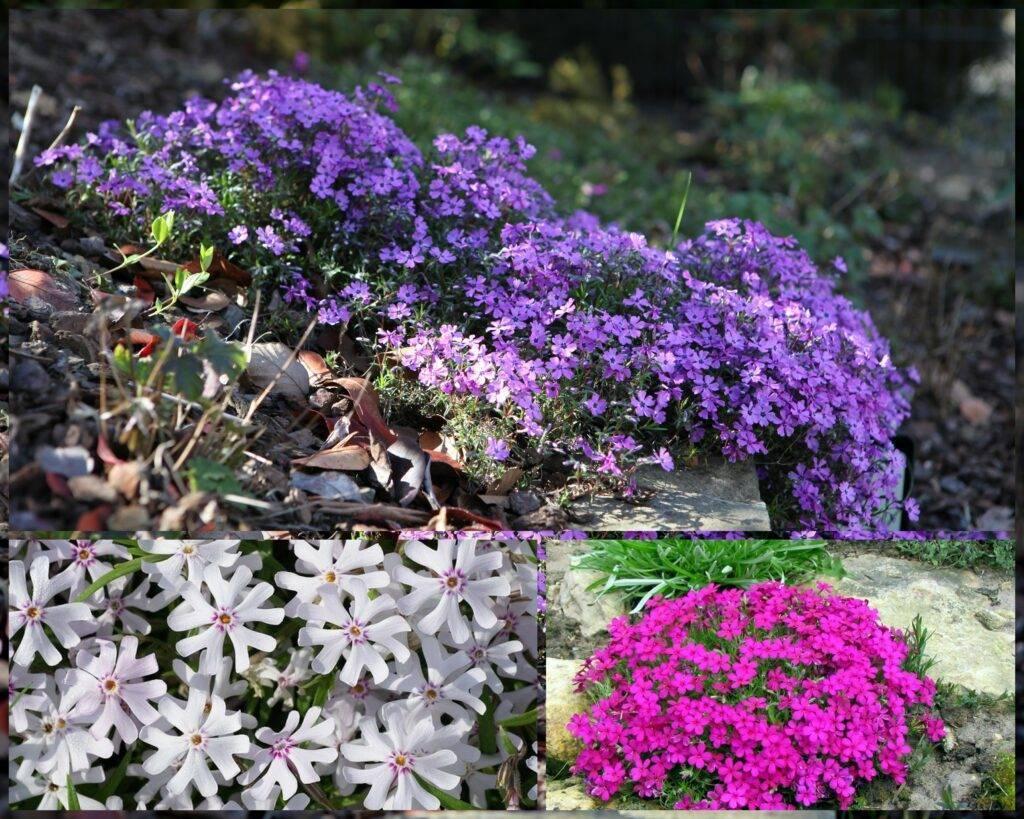 Флоксы. секреты успешного выращивания.  мой сад, огород. копилка дачного опыта.