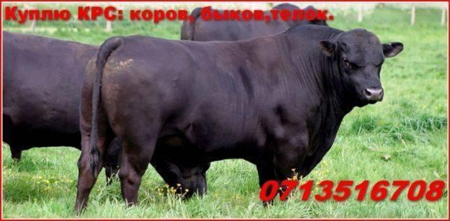 Мясные породы коров: описание и фото крс этого направления, в том числе, выведенного в россии, рекомендации по выбору