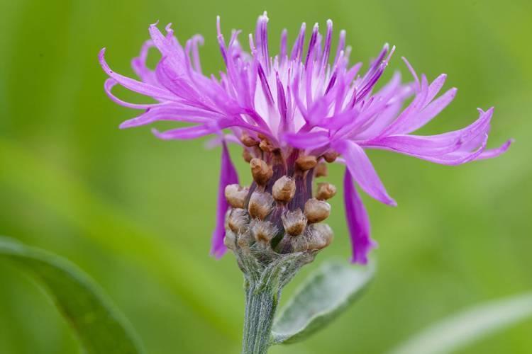Луговой и синий василек: полезные свойства растений и их применение в медицине