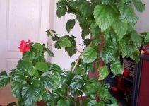 Почему китайская роза не цветет в домашних условиях?