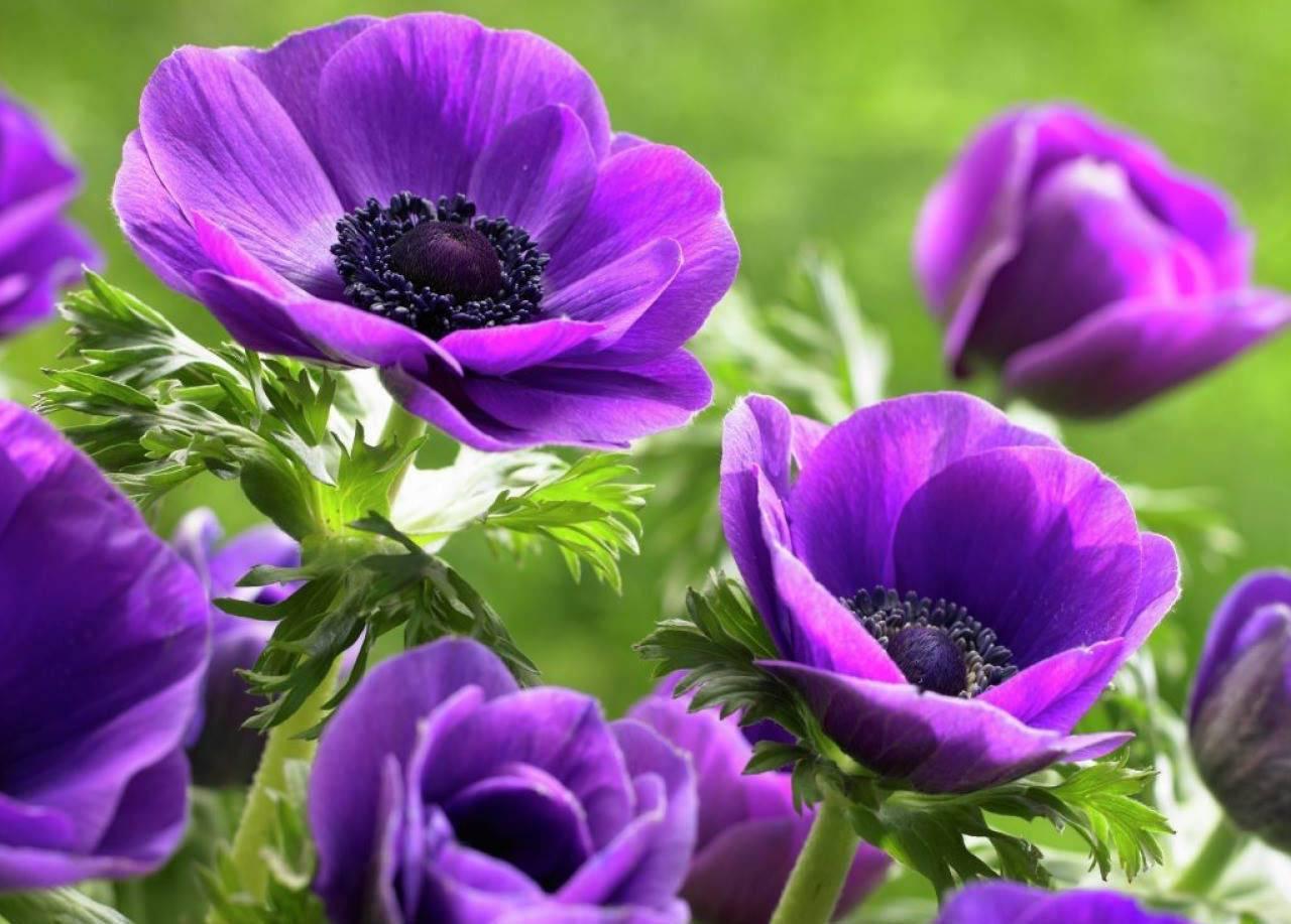 Анемона корончатая: выращивание и размножение