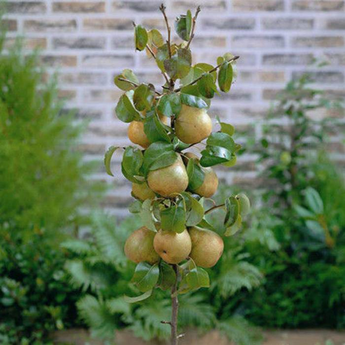 Сорта груш для подмосковья - самые лучшие, вкусные, сладкие, урожайные
