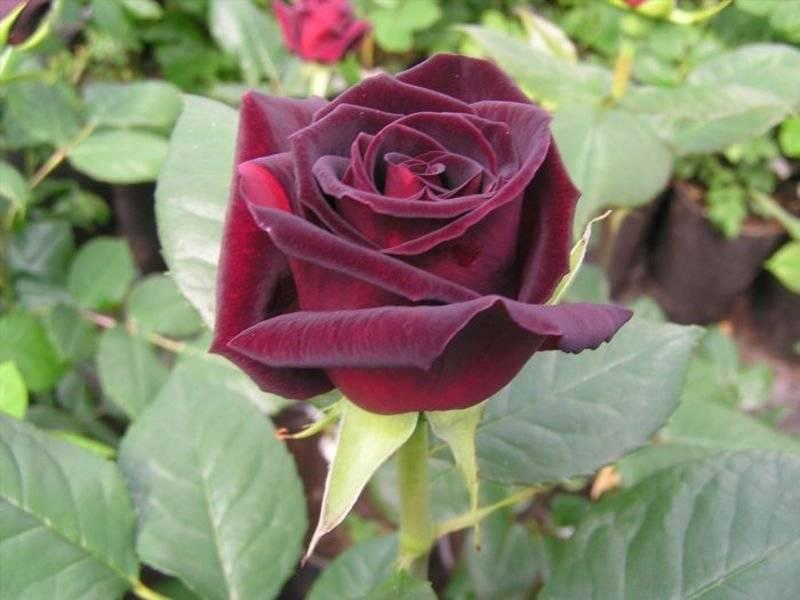 Роза черная магия, фото цветка, и его описание, советы по уходу