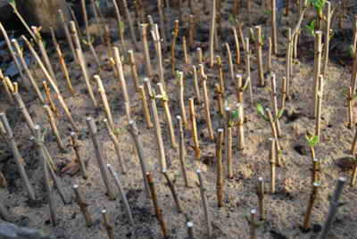 Размножение гортензии черенками: как проводить черенкование летом и весной? как правильно укоренить? как вырастить в домашних условиях?